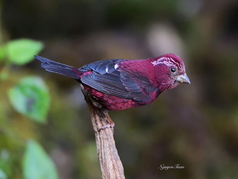 Vinaceous Rosefinch