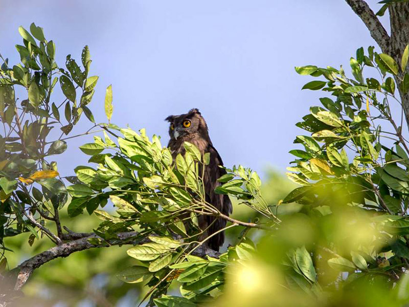 Dusky Eagle Owl