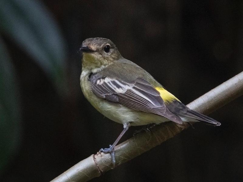 Green-backed Flycatcher