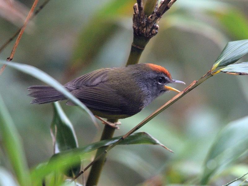 Broad-billed Warbler