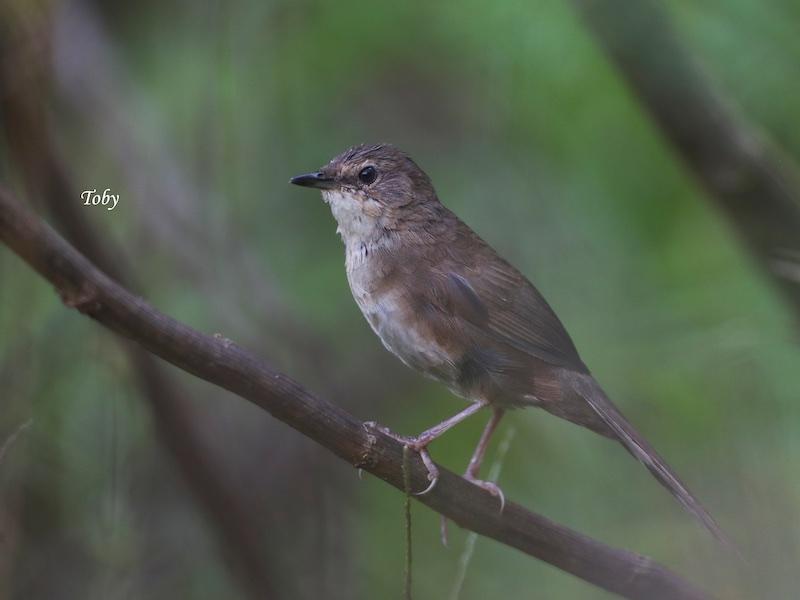 Dalat Bush Warbler