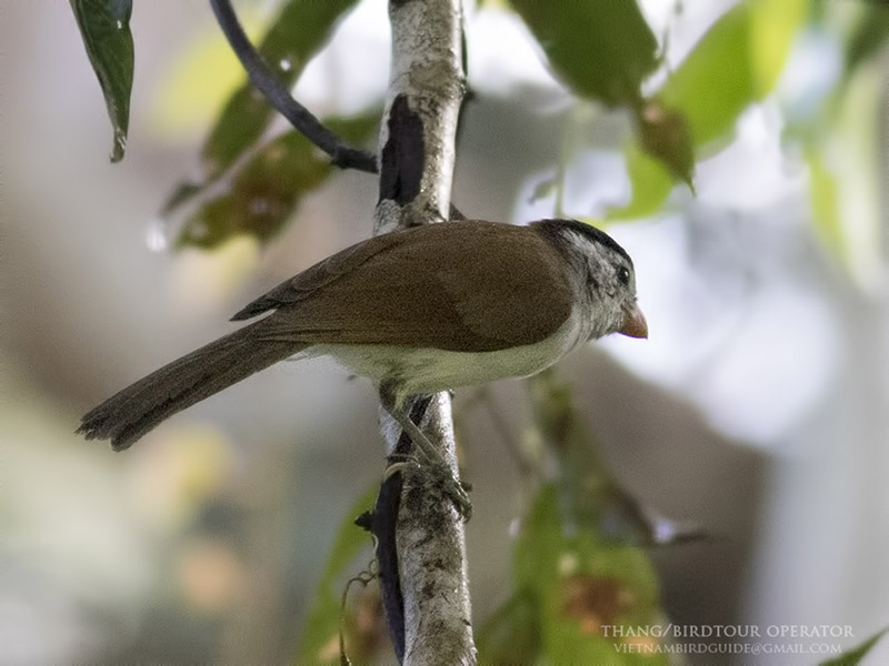Black-headed Parrotbill
