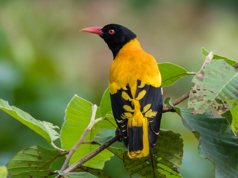Black-hooded Oriole