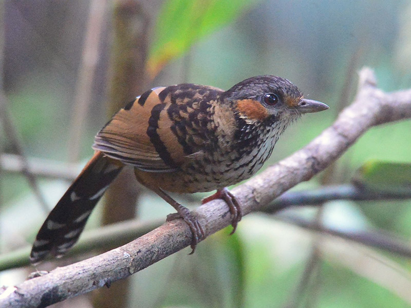 Chestnut-eared Laughingthrush