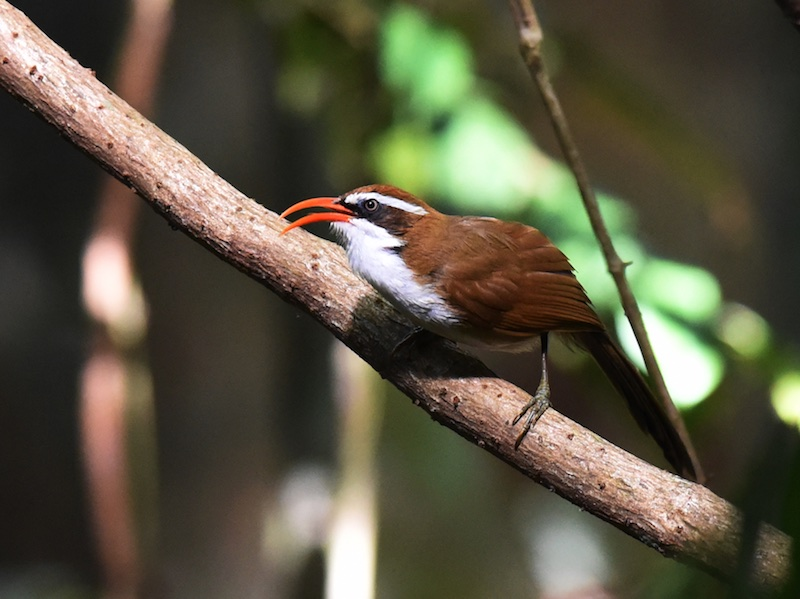 Red-billed Scimitar Babbler