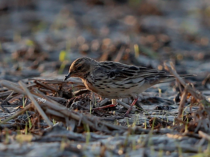 Red-throated Pipit