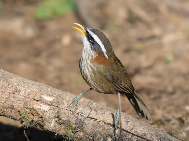 Streak-breasted Scimitar Babbler