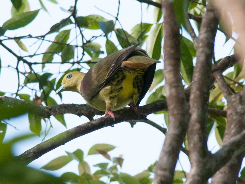 Yellow-vented Green Pigeon