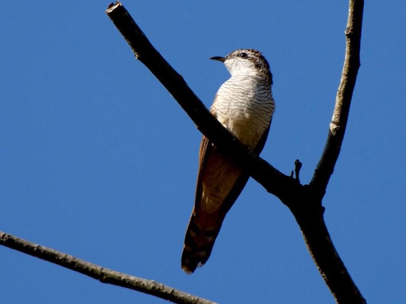 Banded Bay Cuckoo