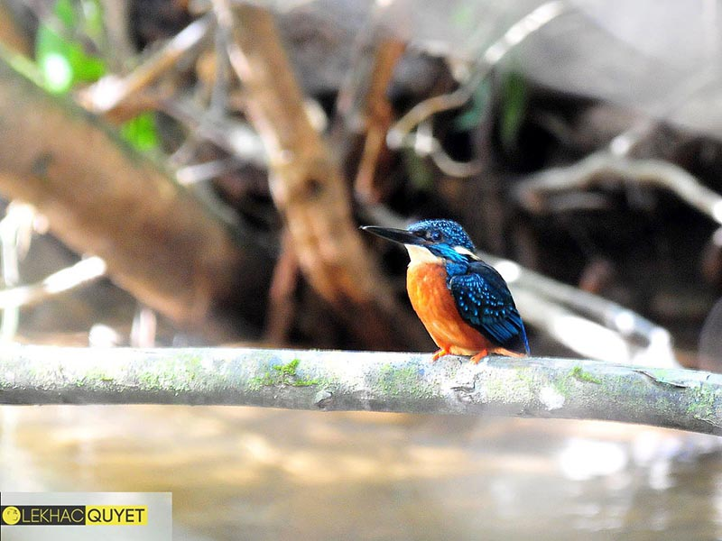 Blyth's Kingfisher