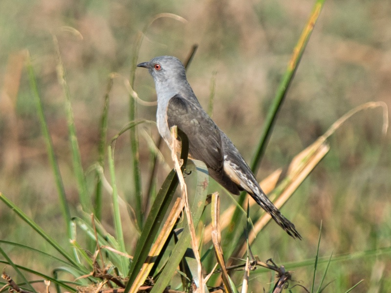 Plaintive Cuckoo