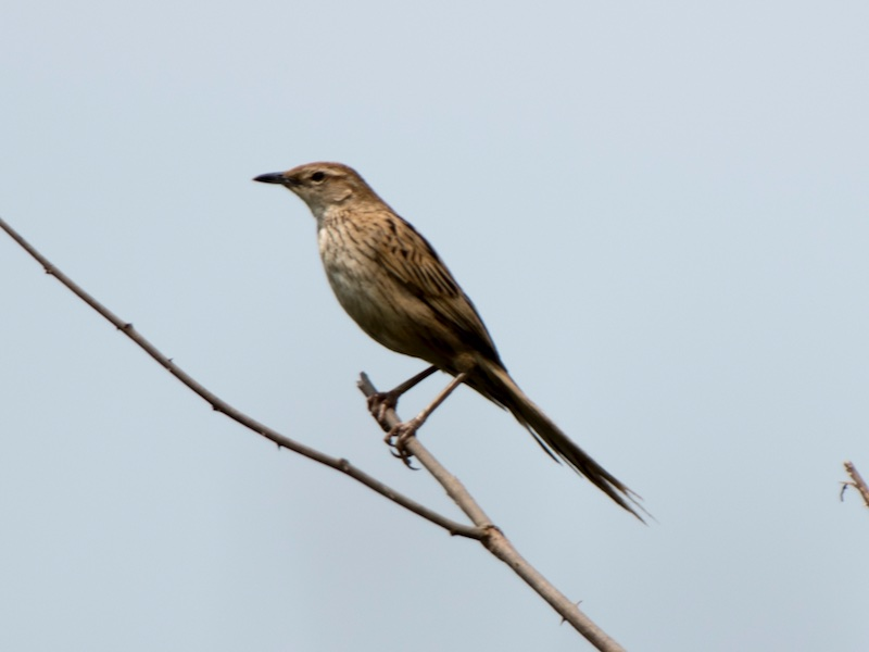 Striated Grassbird