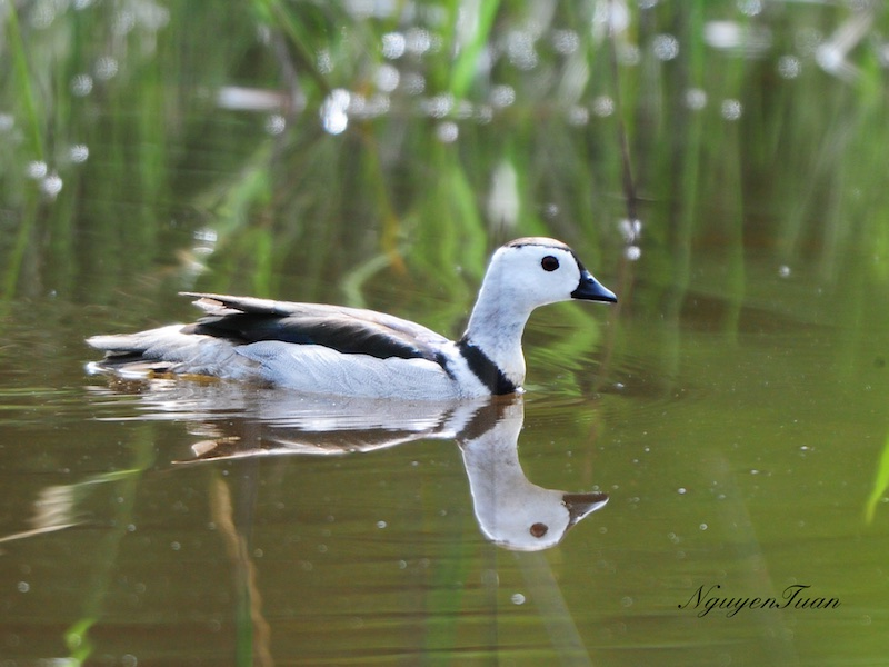 Cotton Pygmy-Goose