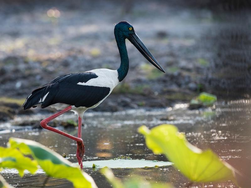 Black-necked Stork