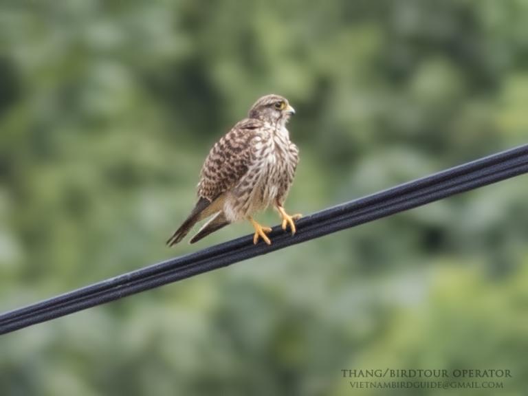 Peregrine Falcon | Falco peregrinus | Cắt lớn