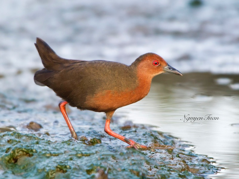 Ruddy-breasted Crake