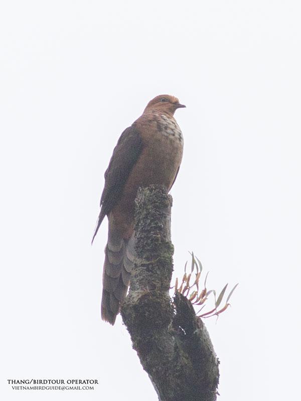 Little Cuckoo Dove