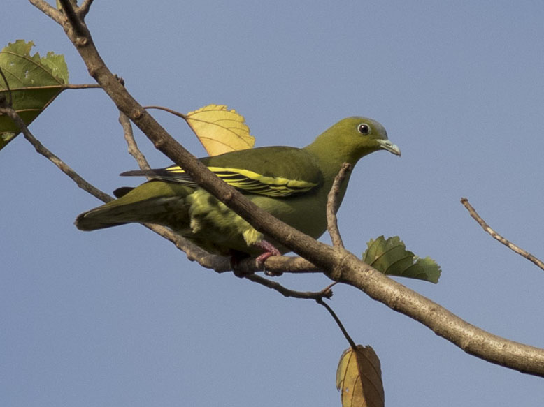 Ashy-headed Green Pigeon