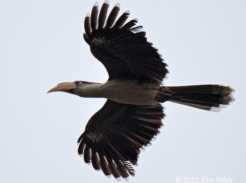 Austen's Brown Hornbill