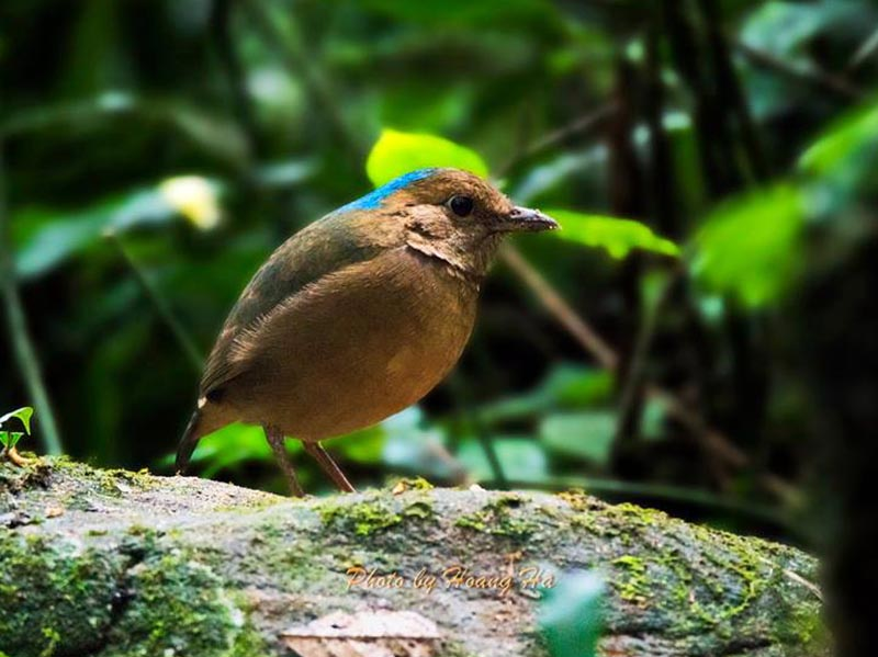 Blue-naped Pitta