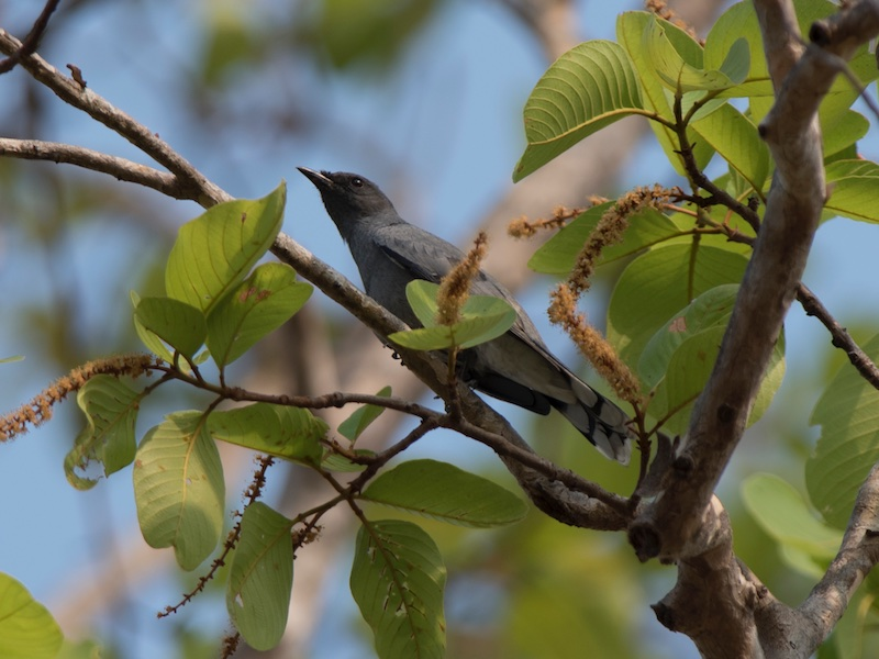 Indochinese Cuckoo-shrike