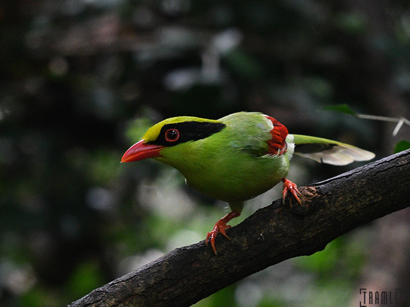 Common Green Magpie