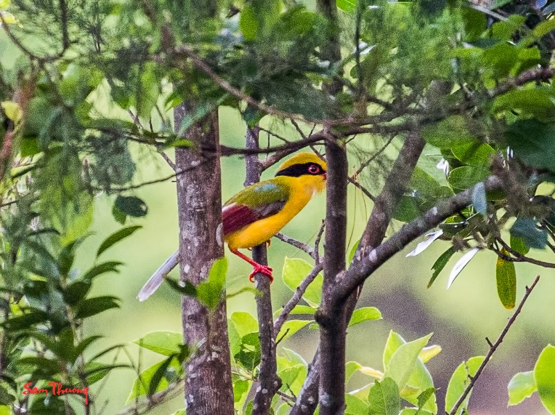 Yellow-breasted Magpie