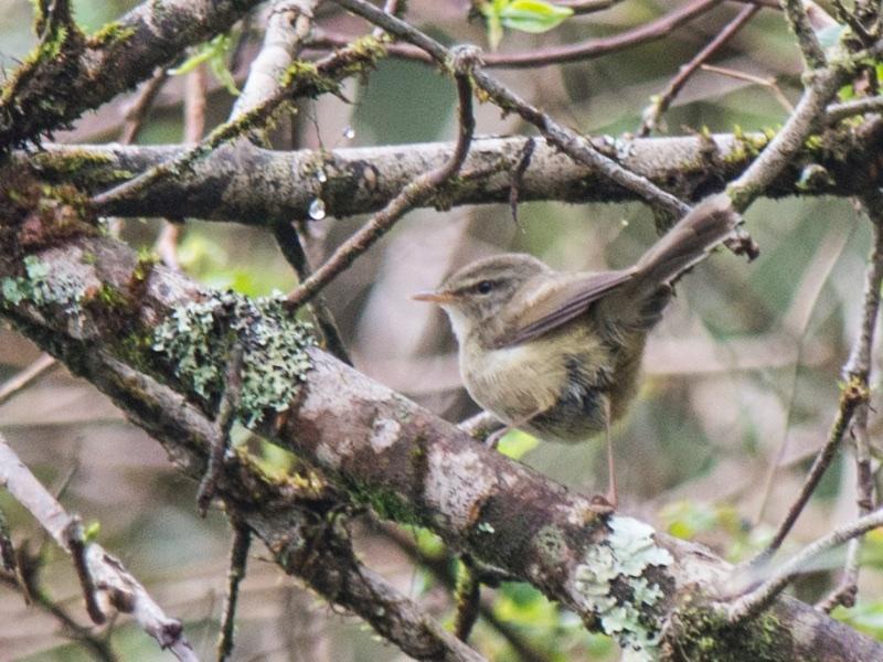 Aberrant Bush Warbler