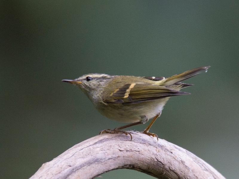 Buff-barred Warbler