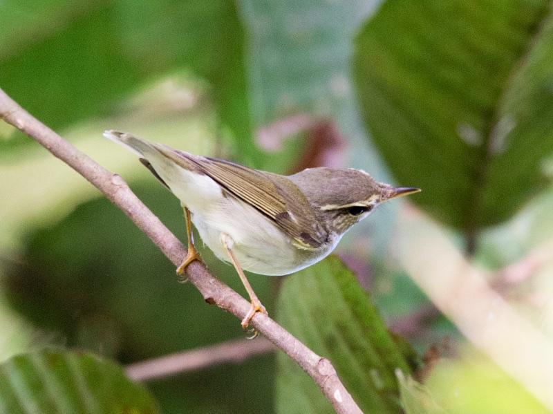 Pale-legged Leaf Warbler