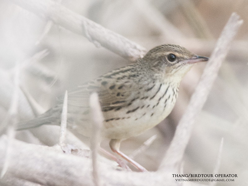 Lanceolated Warbler