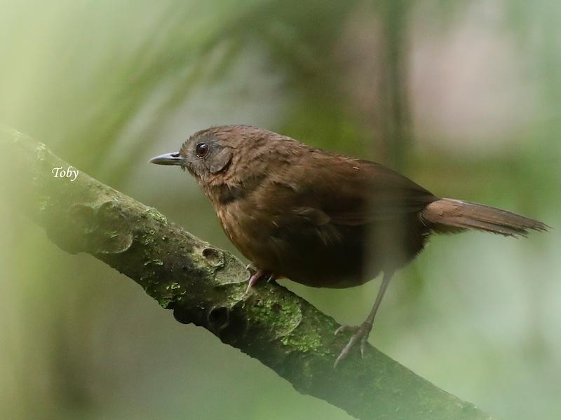 Spot-throated Babbler