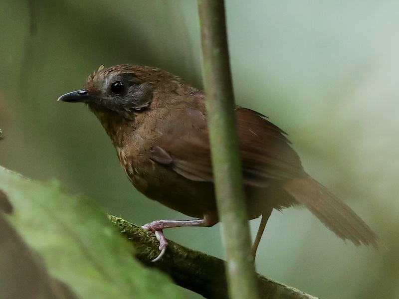 Spot-throated Babbler
