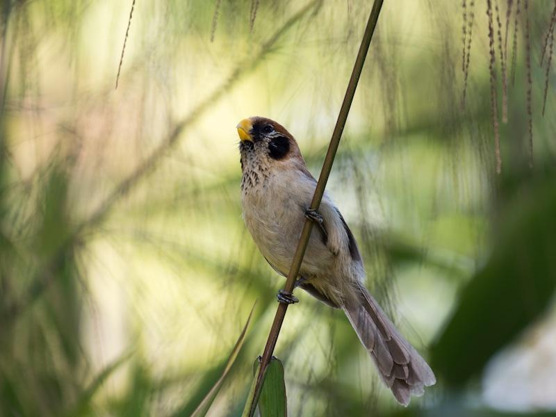 Spot-breasted Parrotbill