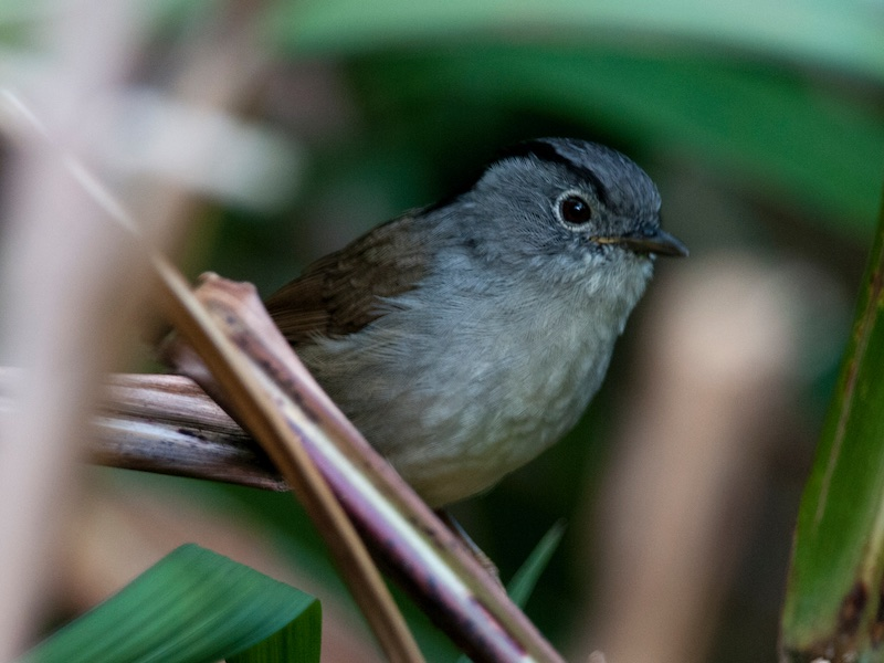 Mountain Fulvetta