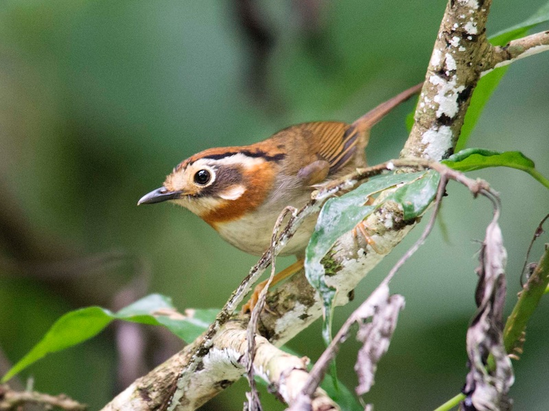 Rufous-throated Fulvetta