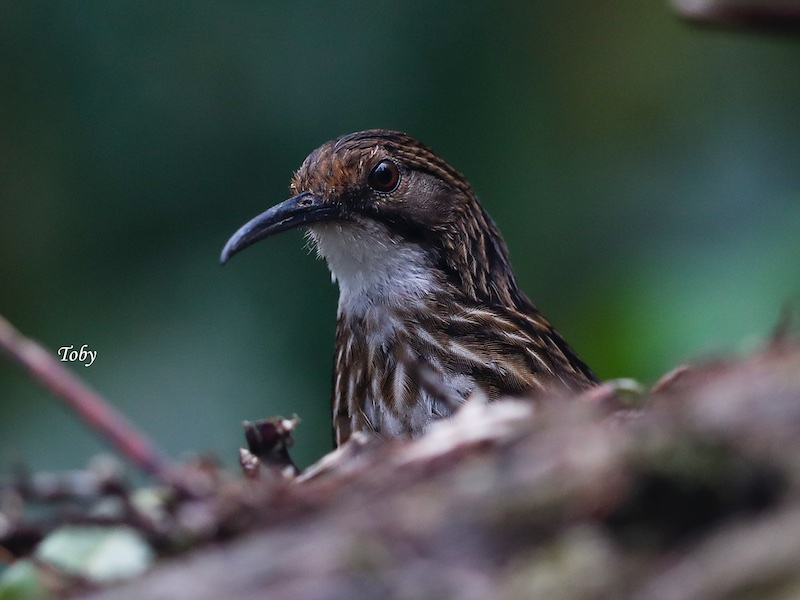 White-throated Wren Babbler