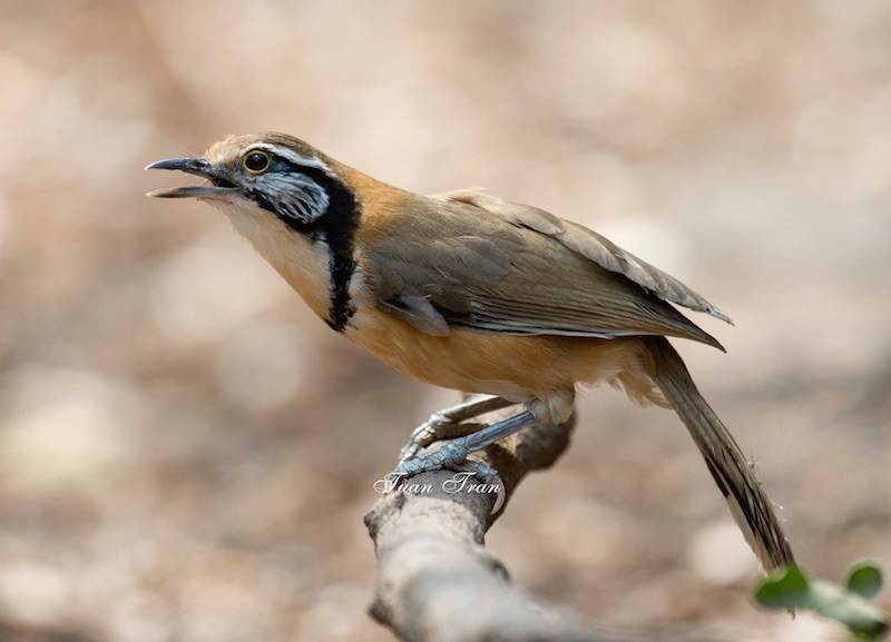 Greater Necklaced Laughingthrush