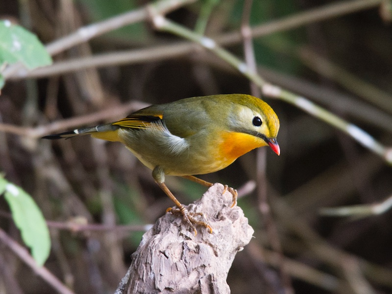 Red-billed Leiothrix