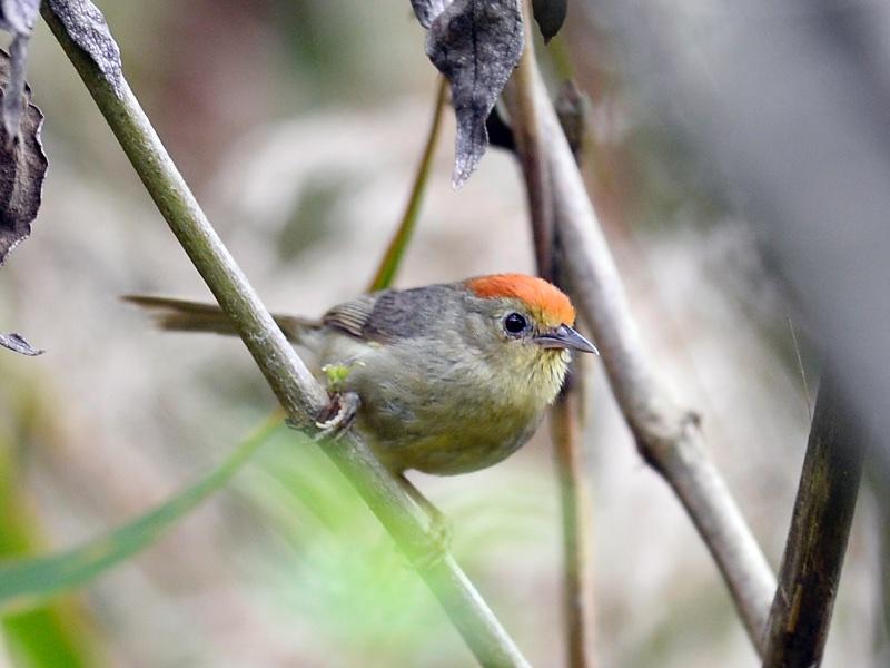Rufous-capped Babbler