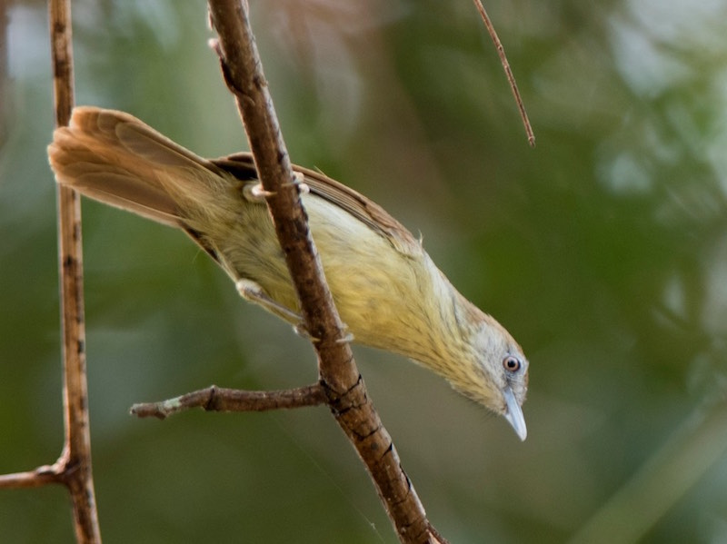 Grey-faced Tit Babbler
