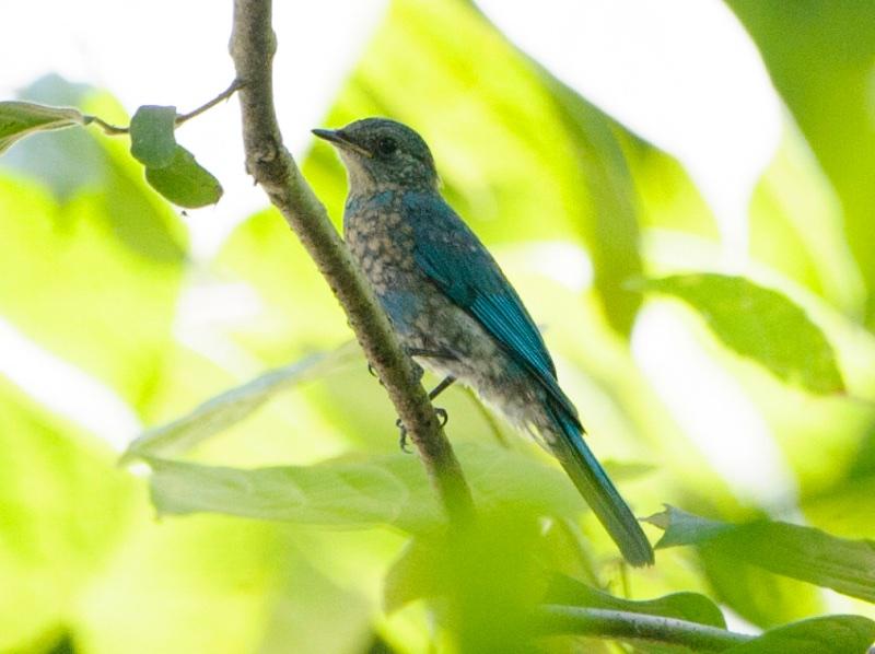 Pale Blue Flycatcher