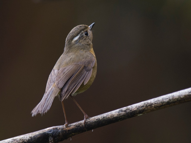 White-browed Bush Robin