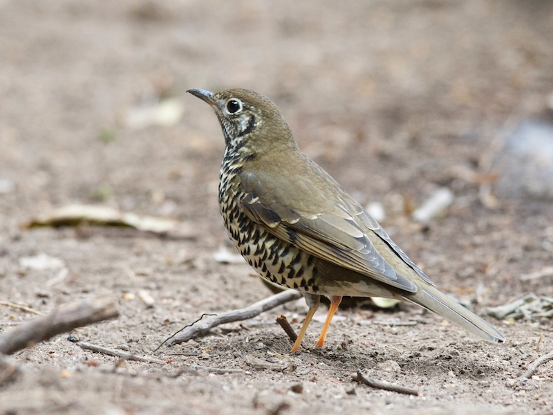 Long-tailed Thrush