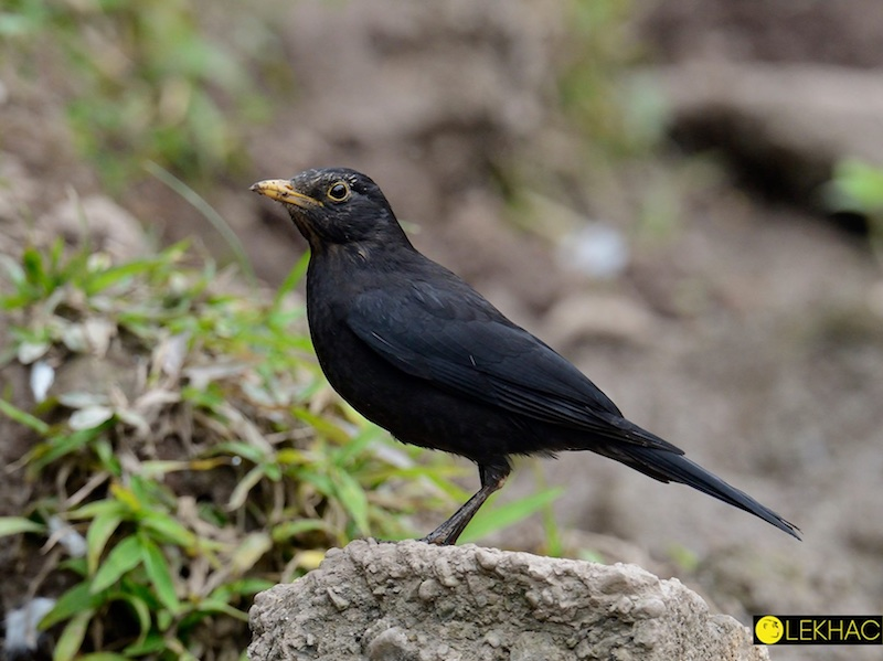 Chinese Blackbird