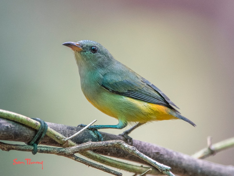 Orange-bellied Flowerpecker