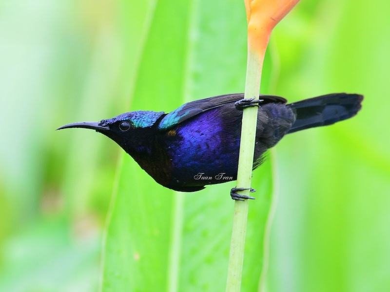 Copper-throated Sunbird