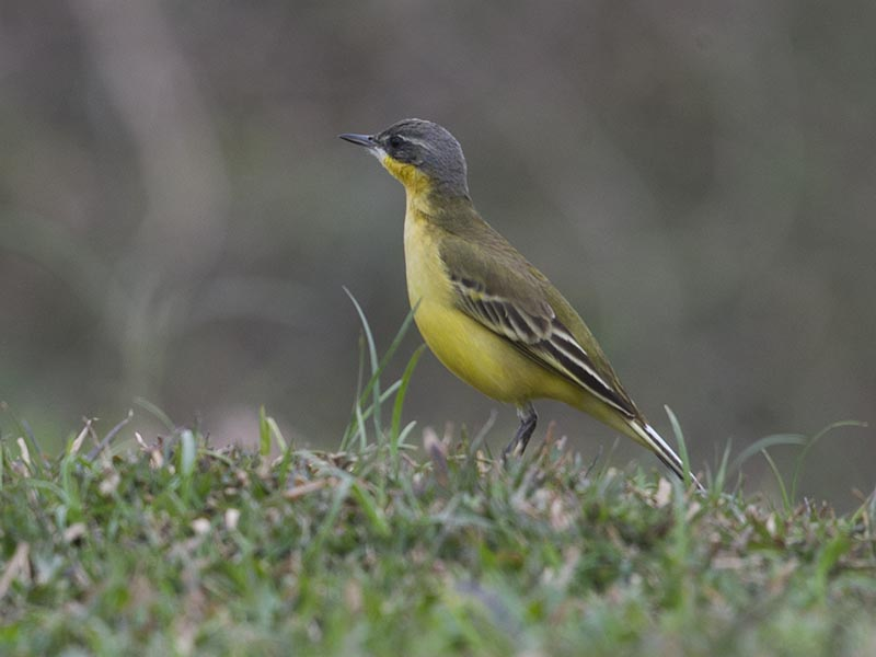 Western Yellow Wagtail