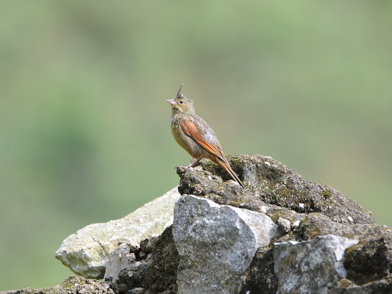 Crested Bunting