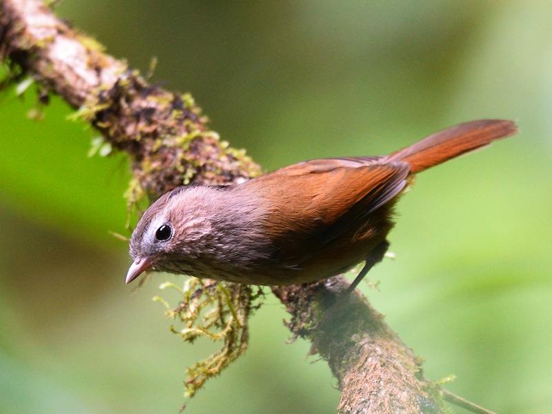 Indochinese Fulvetta